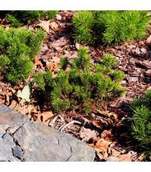 Borovica marhuľa - Pinus mugo pumilio - semiačka - 5 ks