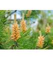 Borovica pokrútená - Pinus contorta - semiačka - 7 ks