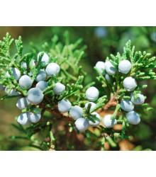 Jalovec osteosperma - Juniperus osteosperma - semiačka - 5 ks