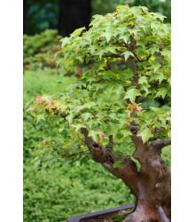 Javor Bürgerov - bonsai Acer buergeranum - semiačka - 5 ks