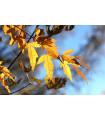 Javor ohnivý - Acer ginnala - semiačka - 5 ks