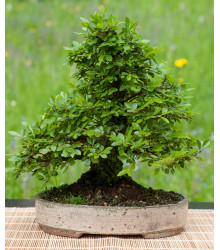 Brest čínsky - Ulmus parvifolia - semiačka - 10 ks