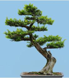 Tis japonský - Taxus cuspidata - semiačka - 5 ks