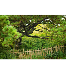 More about Borovica čínska - Pinus tabuliformis - semiačka - 7 ks
