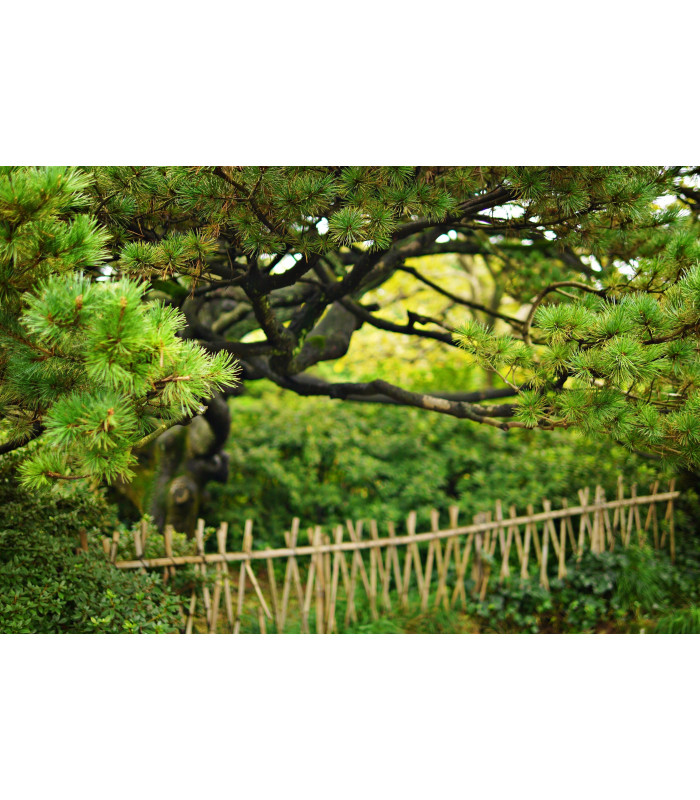Borovica čínska - Pinus tabuliformis - semiačka - 7 ks
