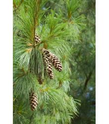 Borovica himalájska - Pinus wallichiana - semiačka - 5 ks