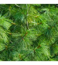 Borovica Roxburghova - Pinus roxburhii - semiačka - 5 ks