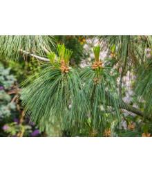 Borovica yunnan - Pinus yunnanensis - semiačka - 5 ks
