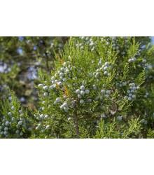 Jalovec - Juniperus excelsa - semiačka - 5 ks