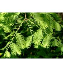 Metasekvoj čínska - Metasequoia glyptostroboides - semiačka - 10 ks