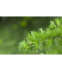 Smrekovec Gmelinov - Larix gmelinii - semiačka - 10 ks