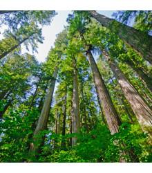 Sekvojovec vždyzelený - Sequoia sempervirens - semiačka - 3 ks