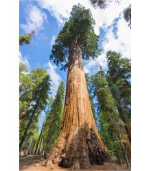 Sekvojovec obrovský - Sequouadendron giganteum - semiačka - 5 ks