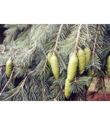 Smrek himalájsky - Picea smithiana - semiačka - 8 ks