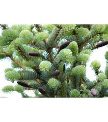 Smrek štetinatý - Picea aspera - semiačka - 8 ks