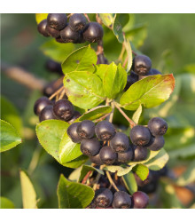 More about Arónia - čierny žeriav - Aronia arbutifolia - semiačka - 7 ks