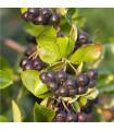 Arónia - čierny žeriav - Aronia arbutifolia - semiačka - 7 ks