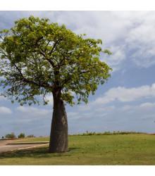 More about Austrálsky baobab - Adansonia gregorii - semiačka - 2 ks