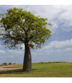 Austrálsky baobab - Adansonia gregorii - semiačka - 2 ks