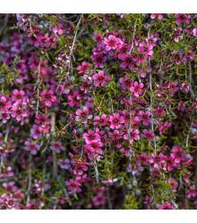 Balmín metlatý - Leptospermum scoparium - semiačka - 10 ks