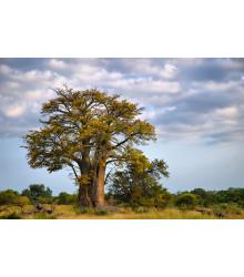 Baobab africký - Adansonia digitata - semiačka - 3 ks