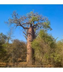 Baobab Fony - Adansonia fony - semiačka - 2 ks