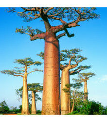 Baobab grandidieri - Adansonia grandidieri - semiačka - 2 ks