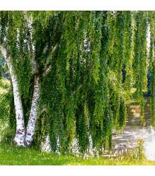Breza previsnutá - Betula pendula - semiačka - 15 ks