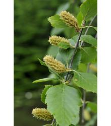 Breza čierna - Betula nigra - semiačka - 15 ks