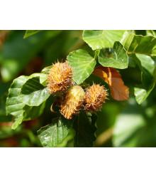Buk lesný - Fagus sylvatica - semiačka - 7 ks