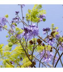 Dalbergia čierna - Dalberhia nigra - semiačka - 5 ks