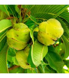 Dilenia indická - Dillenia indica - semiačka - 6 ks