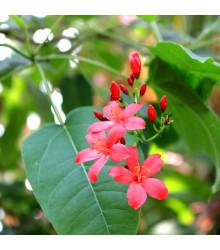 Jamajská čerešňa - Muntingia calabura - semiačka - 6 ks