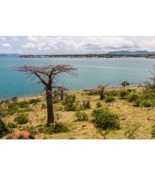 Fľaškový strom - Adansonia suarezensis - semiačka- 2 ks