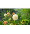 Divá mimóza - Leucaena leucocephala - semiačka - 7 ks