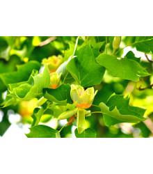 Ľaliovník tulipánokvetý - Liriodendron tulipifera - semiačka - 10 ks