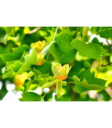 Ľaliovník tulipánokvetý - Liriodendron tulipifera - semiačka - 3 ks