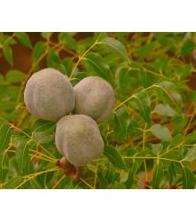 Mahagón - Swietenia mahagoni - semiačka - 5 ks