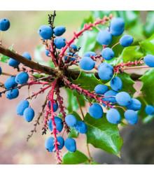 Mahónia cezmínolistá - Mahonia aquifolium - semiačka - 5 ks