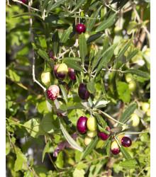 Olivovník európsky - Olea Europeae - semiačka - 5 ks