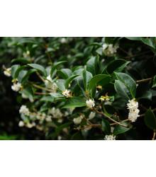 Olivovník libovonný - Osmanthus fragrans - semiačka - 5 ks