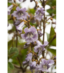 Paulovnia catalpifolia - Paulownia - semiačka - 15 ks