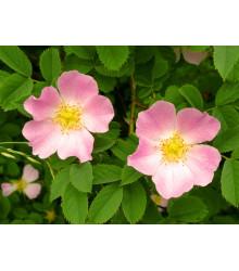 Ruža šípová - Rosa canina - semiačka - 5 ks