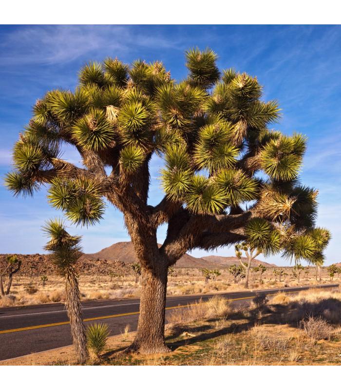 Joshua tree - Juka krátkolistá - Yucca brevifolia - semiačka - 6 ks