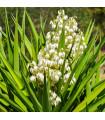 Juka - Yucca - Rupicola -semiačka - 5 ks