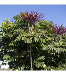 Šeflera actinophylla - Schefflera actinophylla - semiačka - 6 ks
