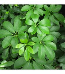 Šeflera stromovitá - paprskovitá - semiačka - 6 ks