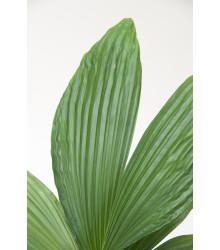 Palma - Carludovica rotundifolia - semiačka - 3 ks