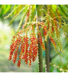 Palma - Ptychosperma - semiačka - 3 ks