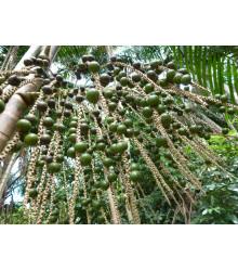 Palma Akaí - Acai - Euterpe oleracea - semiačka - 2 ks